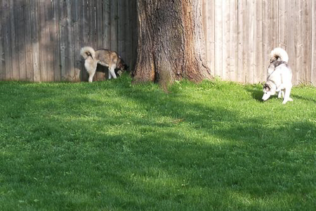 backyard huskies 1