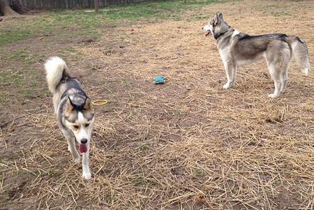 husky backyard 4